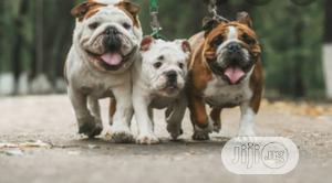 3-6 month Female Purebred Bulldog   Dogs & Puppies for sale in Lagos State, Lekki
