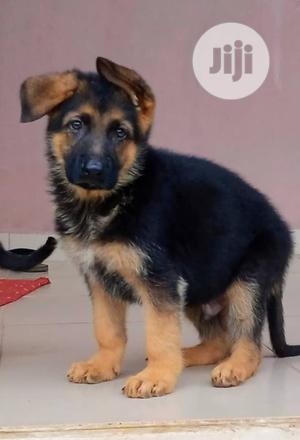 1-3 Month Male Purebred German Shepherd   Dogs & Puppies for sale in Delta State, Udu