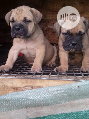 Baby Female Purebred Boerboel   Dogs & Puppies for sale in Rivers State, Port-Harcourt