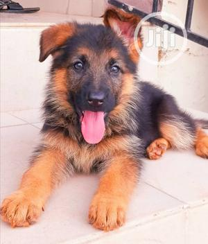 0-1 Month Female Purebred German Shepherd   Dogs & Puppies for sale in Rivers State, Port-Harcourt