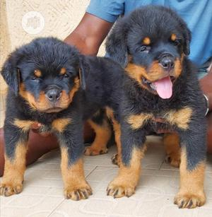 Baby Male Purebred Rottweiler   Dogs & Puppies for sale in Rivers State, Port-Harcourt
