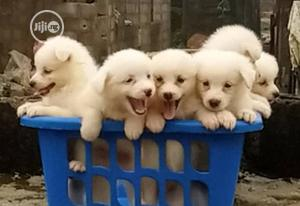 Baby Female Purebred American Eskimo | Dogs & Puppies for sale in Rivers State, Port-Harcourt