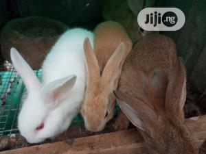 Hybrid Rabbits Of All Breeds For Sale.   Livestock & Poultry for sale in Lagos State, Ifako-Ijaiye