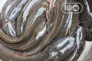 Fresh Catfish Fresh Fish 1 KG   Meals & Drinks for sale in Plateau State, Jos