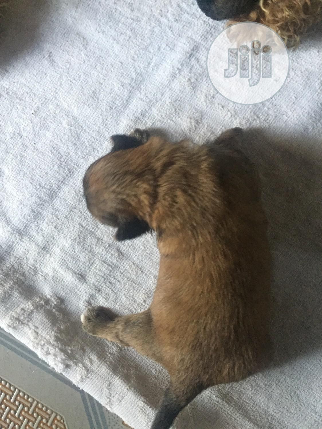 1-3 month Male Purebred Lhasa Apso   Dogs & Puppies for sale in Benin City, Edo State, Nigeria