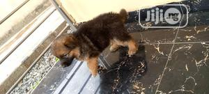 Baby Female Purebred German Shepherd Dog   Dogs & Puppies for sale in Oyo State, Ibadan