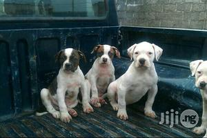 American Bull Dog | Dogs & Puppies for sale in Lagos State, Ikeja