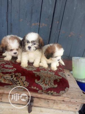 Baby Female Purebred Lhasa Apso | Dogs & Puppies for sale in Lagos State, Ikorodu