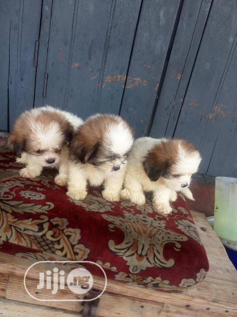Baby Female Purebred Lhasa Apso | Dogs & Puppies for sale in Ikorodu, Lagos State, Nigeria