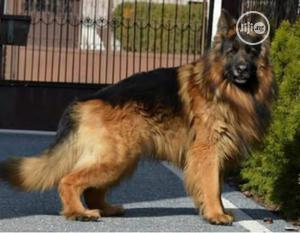 Young Female Purebred German Shepherd | Dogs & Puppies for sale in Lagos State, Lekki