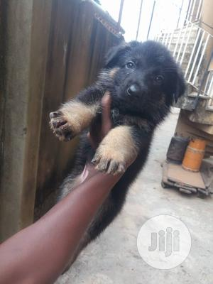 Baby Female Purebred German Shepherd   Dogs & Puppies for sale in Lagos State, Agege