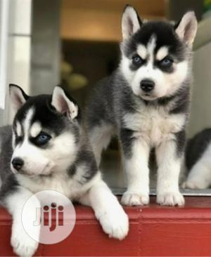 1-3 month Female Purebred Siberian Husky | Dogs & Puppies for sale in Lagos State, Lekki
