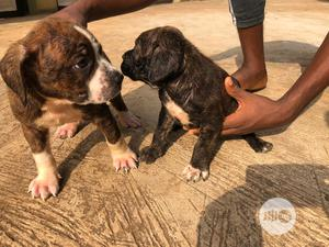 Baby Female Purebred Boerboel   Dogs & Puppies for sale in Lagos State, Agege