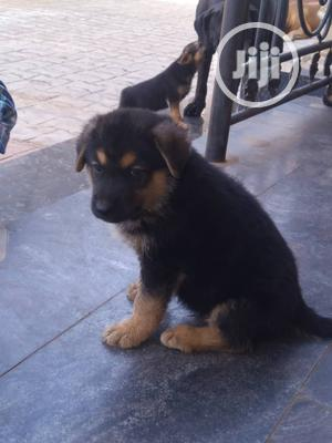 1-3 Month Female Purebred German Shepherd | Dogs & Puppies for sale in Lagos State, Ojo