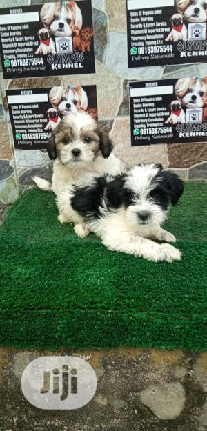 1-3 month Female Purebred Lhasa Apso   Dogs & Puppies for sale in Edo State, Benin City
