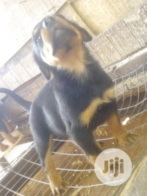 Young Male Purebred Rottweiler | Dogs & Puppies for sale in Ogun State, Ijebu Ode