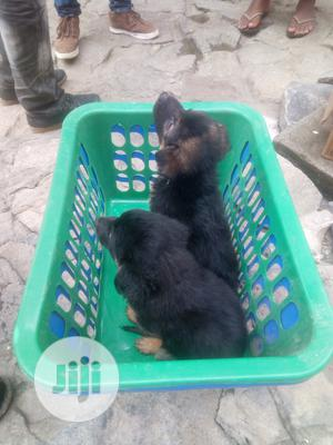 1-3 month Female Purebred German Shepherd   Dogs & Puppies for sale in Oyo State, Ibadan