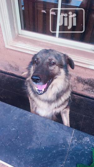 1+ year Male Purebred Caucasian Shepherd | Dogs & Puppies for sale in Enugu State, Enugu