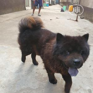 Black Chow Chow For Stud Service   Pet Services for sale in Lagos State, Isolo