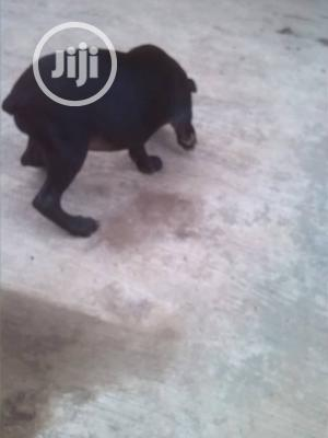 0-1 Month Female Purebred American Pit Bull Terrier | Dogs & Puppies for sale in Oyo State, Ibadan