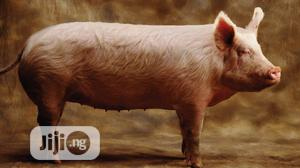 Pigs (Pork)   Livestock & Poultry for sale in Lagos State, Agege