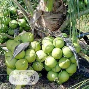 Dwarf Coconut Seedlings For Sale | Feeds, Supplements & Seeds for sale in Oyo State, Ona-Ara
