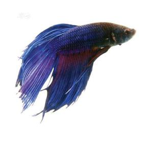 Siamise Fighter Fish For All Aquarium And Fish Bowl | Fish for sale in Lagos State, Surulere