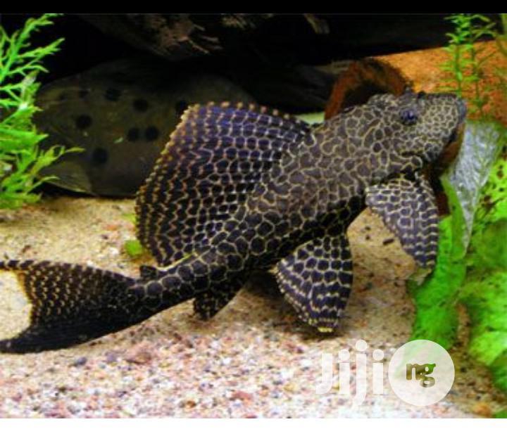 Pleco Aquarium Cleaning Fish