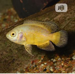 Oscar Aquarium Fish For Sale | Fish for sale in Lagos State, Surulere