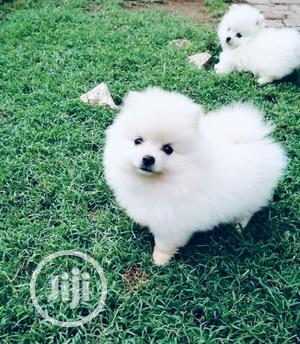 1-3 Month Male Purebred Pomeranian | Dogs & Puppies for sale in Lagos State