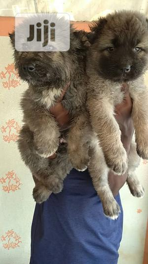 1-3 Month Female Purebred Caucasian Shepherd | Dogs & Puppies for sale in Lagos State, Maryland