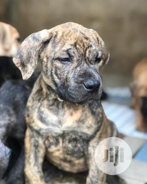 Baby Male Purebred Boerboel   Dogs & Puppies for sale in Kwara State, Ilorin South