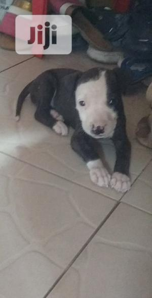 Baby Female Purebred American Pit Bull Terrier   Dogs & Puppies for sale in Lagos State, Mushin