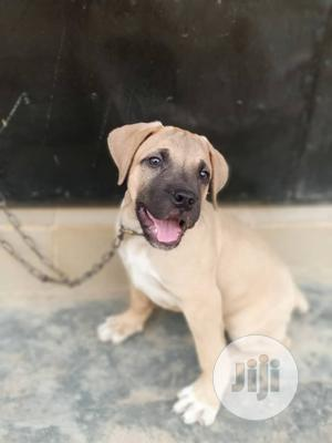 Baby Male Purebred Boerboel   Dogs & Puppies for sale in Osun State, Osogbo