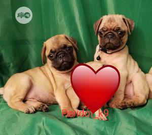 1-3 Month Male Purebred Pug | Dogs & Puppies for sale in Lagos State, Ikeja