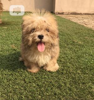Young Male Purebred Lhasa Apso | Dogs & Puppies for sale in Lagos State, Lagos Island (Eko)