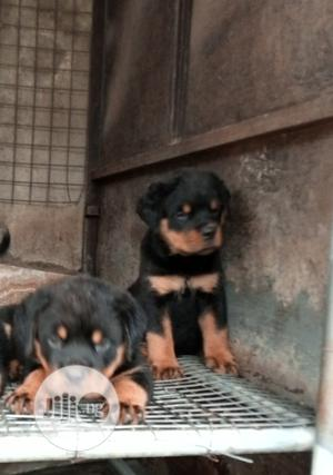 1-3 Month Female Purebred Rottweiler   Dogs & Puppies for sale in Lagos State, Ikeja
