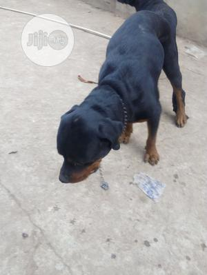 Adult Male Purebred Rottweiler | Dogs & Puppies for sale in Abuja (FCT) State, Gwagwalada