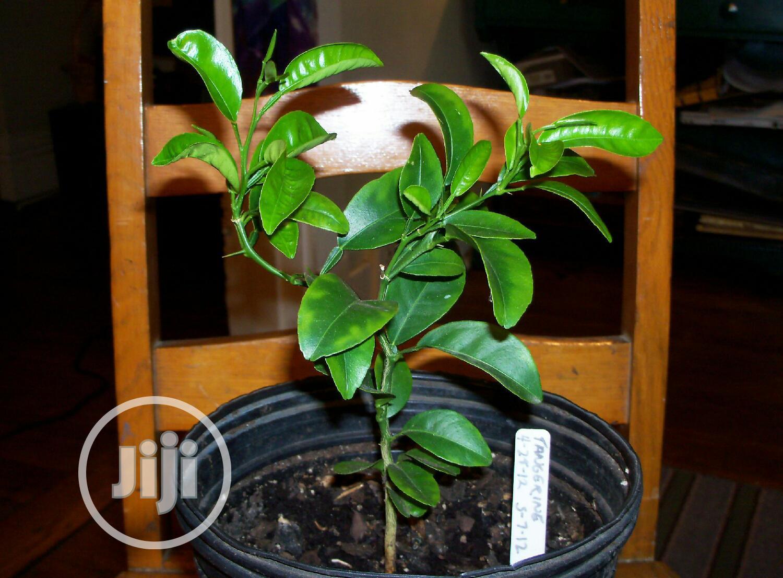 Archive: Budded Orange Seedlings