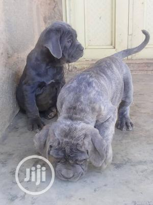 Young Female Purebred Neapolitan Mastiff | Dogs & Puppies for sale in Delta State, Ika North East