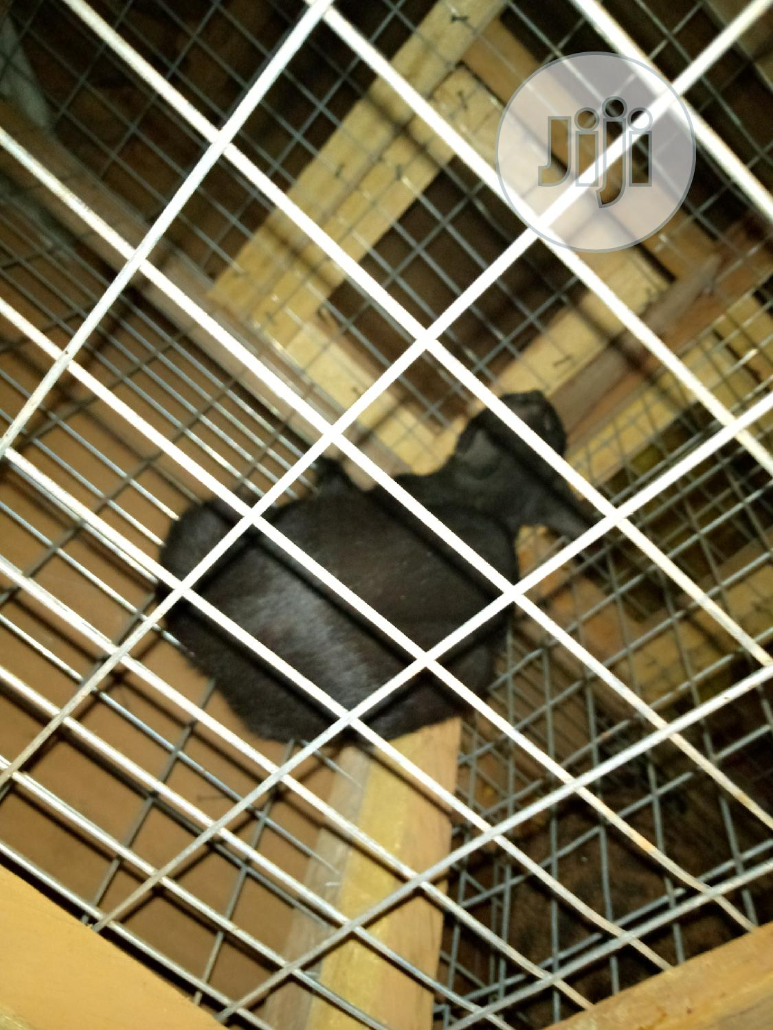 Adult Male Purebred Cat | Cats & Kittens for sale in Ikorodu, Lagos State, Nigeria