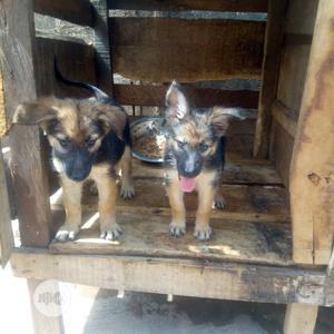 Baby Female Purebred German Shepherd   Dogs & Puppies for sale in Oyo State, Oyo