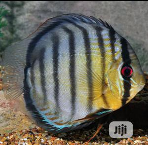 Discus Aquarium Fish Of All Kind For You And Your Family   Fish for sale in Lagos State, Surulere