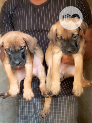 Young Female Purebred Boerboel | Dogs & Puppies for sale in Ogun State, Sagamu