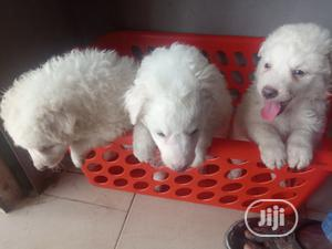 Baby Male Purebred American Eskimo | Dogs & Puppies for sale in Oyo State, Ibadan