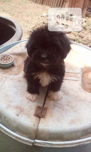 Baby Female Purebred Lhasa Apso | Dogs & Puppies for sale in Enugu State, Enugu