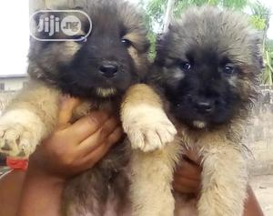 Baby Male Purebred Caucasian Shepherd   Dogs & Puppies for sale in Kwara State, Ilorin South