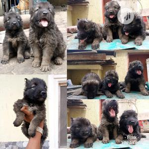 Young Female Purebred Caucasian Shepherd | Dogs & Puppies for sale in Oyo State, Ibadan