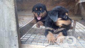Young Female Purebred Rottweiler | Dogs & Puppies for sale in Oyo State, Ibadan