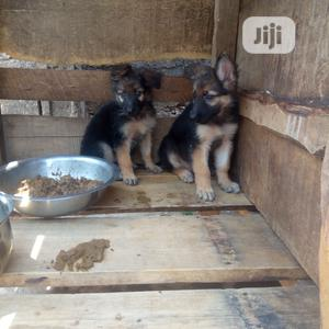 Young Female Purebred German Shepherd | Dogs & Puppies for sale in Oyo State, Ibadan